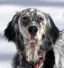 English-Setters-For-Sale.jpg